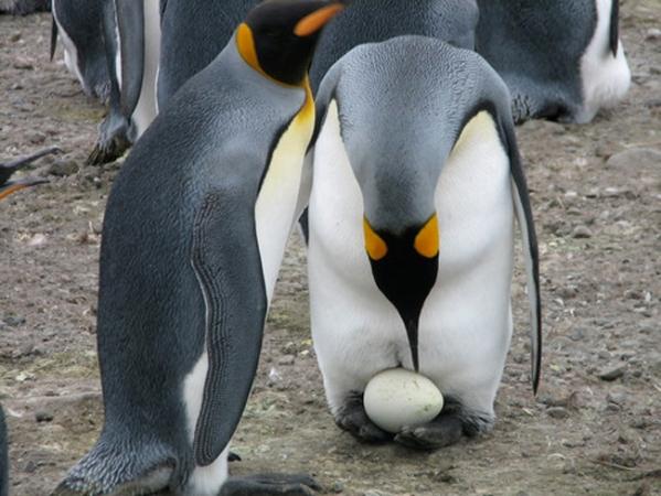 Секс пингвинов